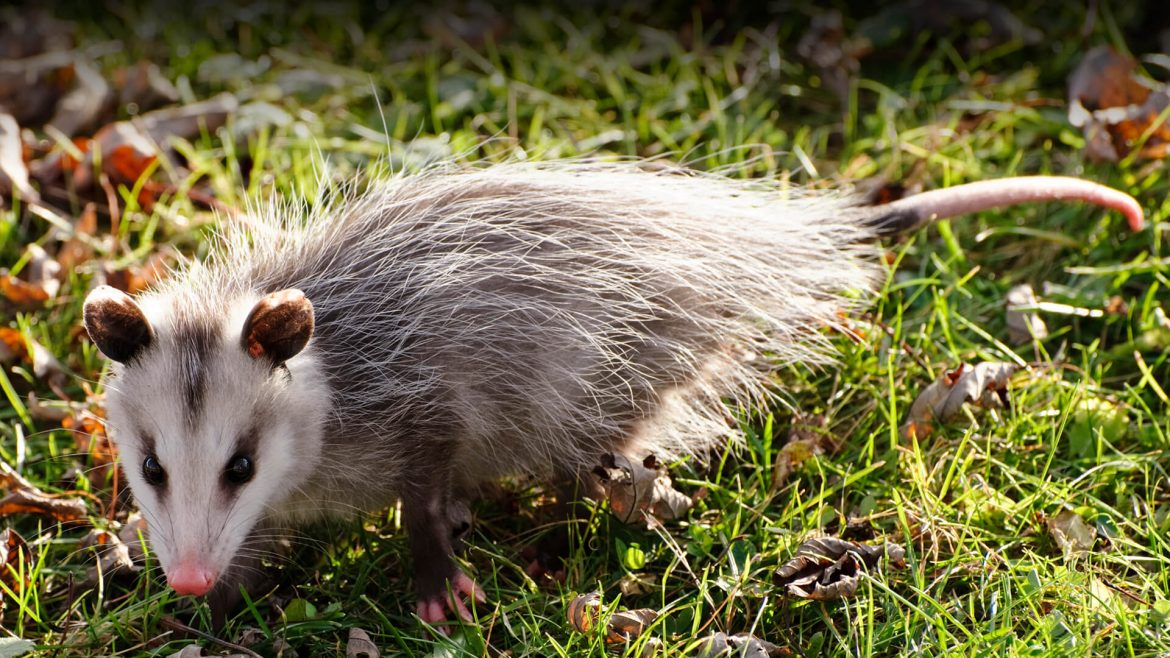Why It Is Important To Hire Professionals To Handle Possums In Your Home